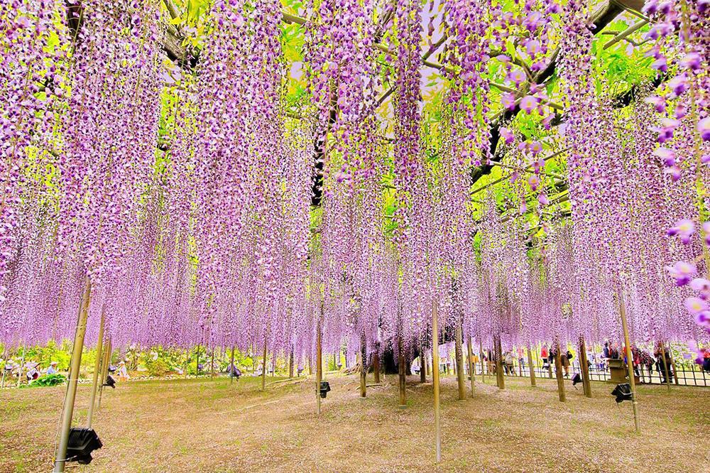 あしかがフラワーパーク 大藤紫5 とちぎのしゅし