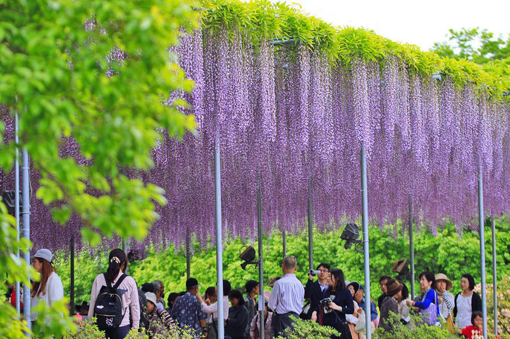 あしかがフラワーパーク 大藤 紫 とちぎのしゅし