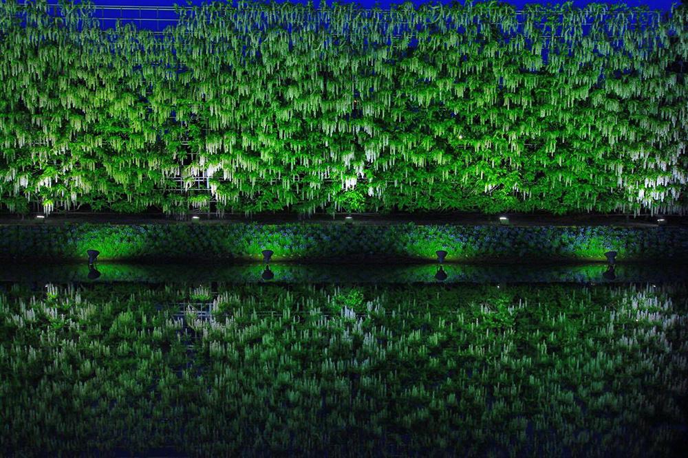 あしかがフラワーパーク 白藤の滝2 ライトアップ とちぎのしゅし