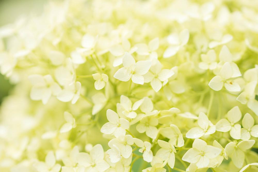 磯山神社 鹿沼市 白い花 とちぎのしゅし