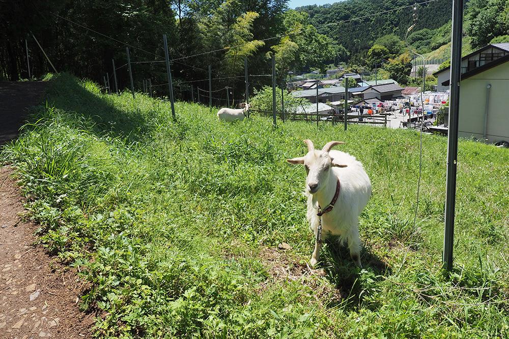 ココ・ファーム・ワイナリー 葡萄畑とヤギ