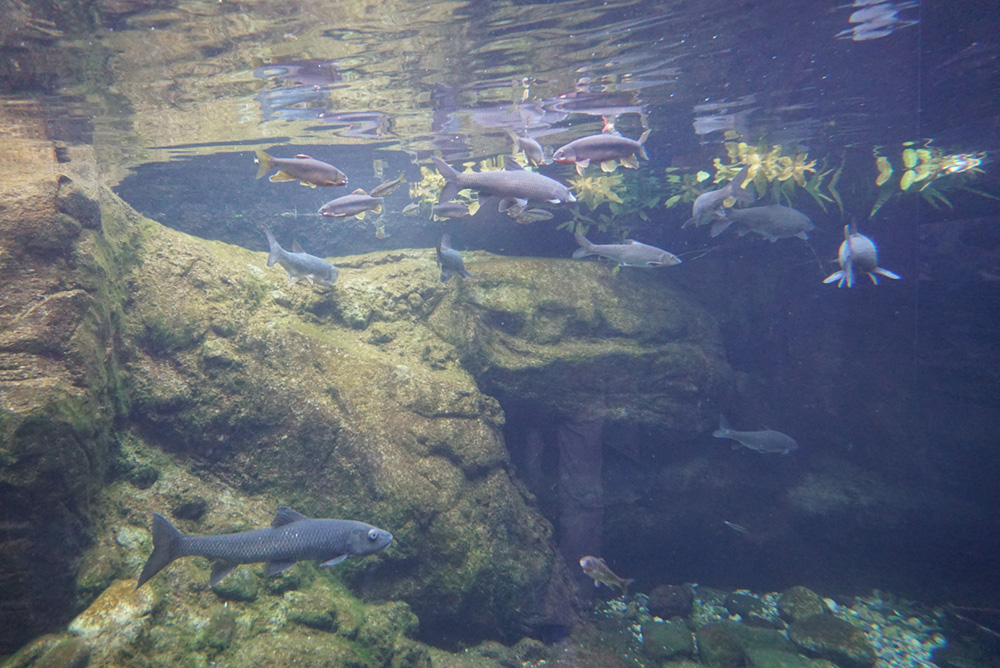 なかがわ水遊園  コイ 淡水魚 栃木県